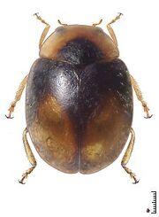 Scymnobius ecuadoricus.jpg