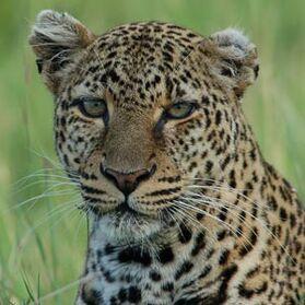 Leopardos-fotos-p.jpg