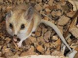 Ratón Marsupial de Cola Gorda