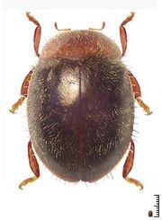 Rhyzobius lophantae.jpg