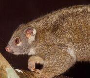 Pseudochirops-archeri.green-ringtail-possum.pseuarc1-il