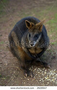Stock-photo-young-brush-tailed-rock-wallaby-petrogale-penicillata-portrait-orientation-2628947