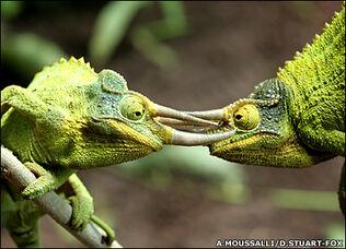 Camaleones de Jackson.jpg