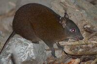 2764958-musky-rat-kangaroo-Hypsiprymnodon-moschatus-0.jpg