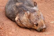 6158156-southern-hairy-nosed-wombat--lasiorhinus-latifrons--australian-native-animal