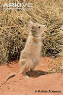 Rufous-hare-wallaby-standing-on-hind-legs