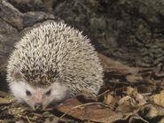 Mcdonald-joe-african-hedgehog-atelerix-albiventris-east-africa