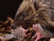 Burton-jane-hedgehog-carrying-newborn-to-new-nest-erinaceus-europaeus-uk