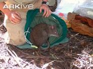 Female-Long-footed-potoroo-being-released