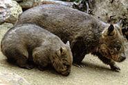 Wombat T01-595