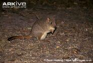 Brush-tailed-bettong-subspecies-Bettongia-penicillata-penicillata