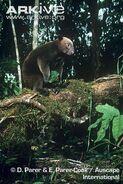 Dorias-tree-kangaroo-in-forest