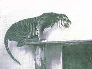 Javan Tiger.jpg