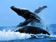 Baleines006.jpg