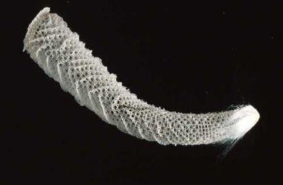 Euplectella1.jpg
