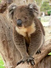 1 koala 300.jpg