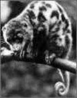 Spilocuscus-rufoniger