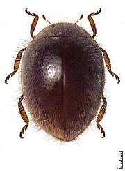 Scymnomorphus sp 01.jpg