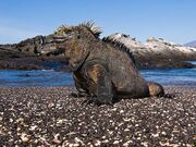 2811081006 iguana marina 77 thl.jpg