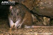 Long-footed-potoroo-in-habitat