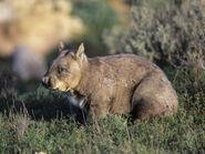 Dave-watts-southern-hairy-nosed-wombat-lasiorhinus-latifrons-victoria-australia