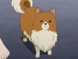 Missile (Pomeranian)