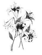 Zosienka Lilies