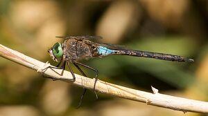 DarnerDragonflyIRL.jpg