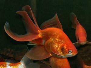GoldfishIRL.jpg