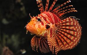 TurkeyfishIRL.png