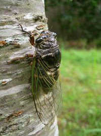 GiantCicadaIRL.jpg