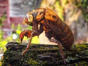 CicadaShellIRL.jpg
