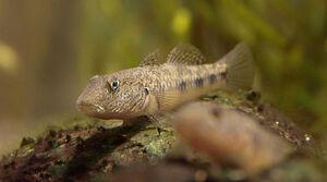 FreshwaterGobyIRL.jpg