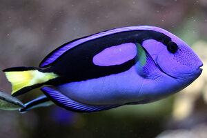SurgeonfishIRL.jpg