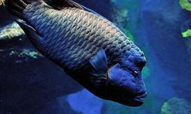 NapoleonfishIRL.jpg