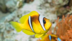 ClownfishIRL.png