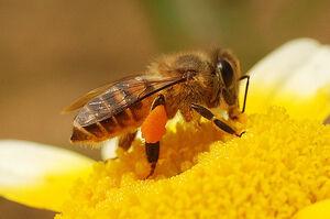 HoneybeeIRL.jpg