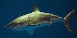 SharkIRL.jpg