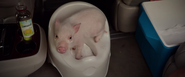 The Pig uses the potty