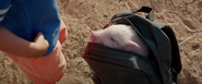 The Pig in Manny's backpack