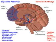 The reward pathway 3