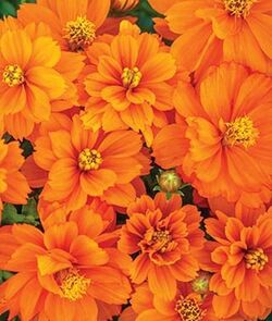 9 Cut Flowers to Grow From Seed - Finding Sea Turtles.jpg