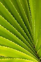 Spiky fern