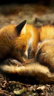 Fox red sleep ball 1094 640x1136.jpg