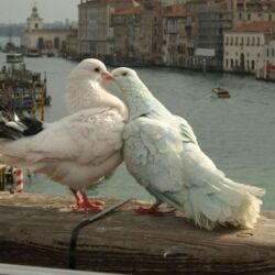 Pigeoncore