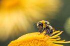 Nectarbee