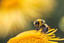 Nectarbee.jpeg