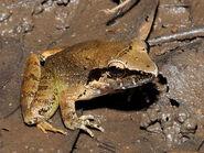 Masked-swamp-frog 4331