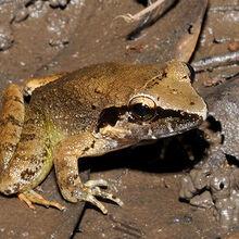 Masked-swamp-frog 4331.jpg