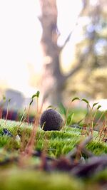 Moss sproutling